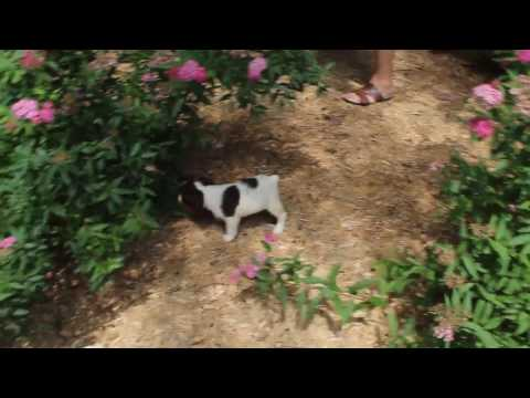 Brittany Springer Spaniel Puppies For Sale