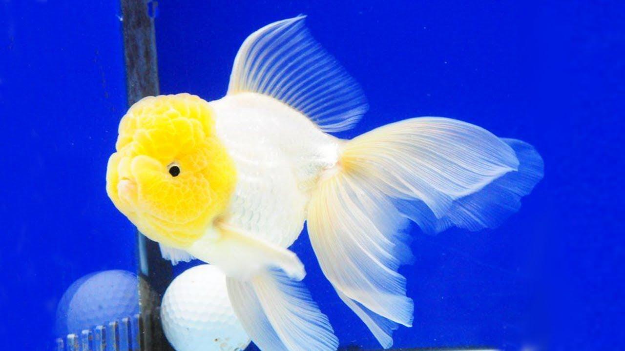 Download 10 Jenis Ikan mas koki tercantik dan terpopuler