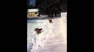 Weimaraner And Vizsla Snow