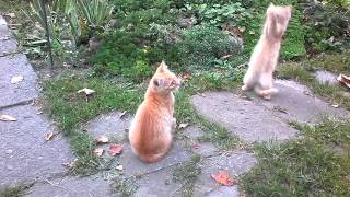 Рыжие котята Шпротовичи и папаша Шпрот.
