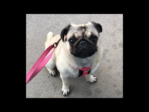 Penny the Pug 1-9months
