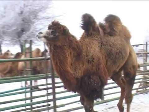 Астраханские верблюды зимуют