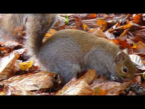 Grey Squirrels UK genus Sciurus
