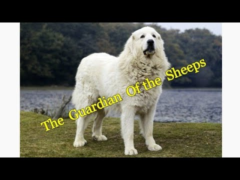 Great Pyrenees dog facts.
