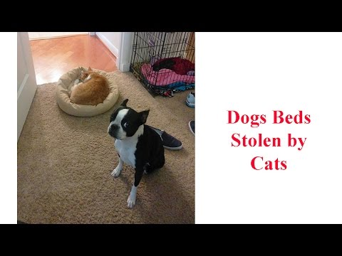 Dogs Beds Stolen by Cats