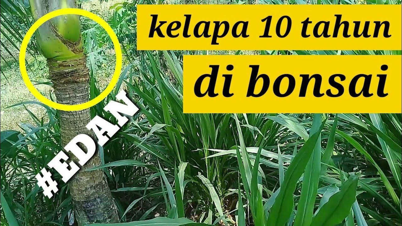 Bonsai Kelapa Umur 10 Tahun Niat Edan Youtube