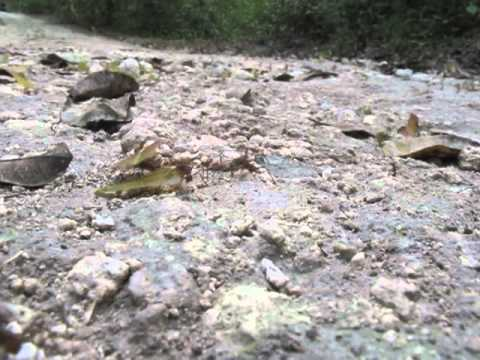 Sounds of the Jungle: Leaf Cutter Ants Keeping Busy