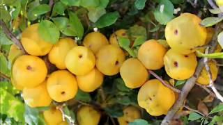 Альтернатива лимону -  айва японская (хеномелес)