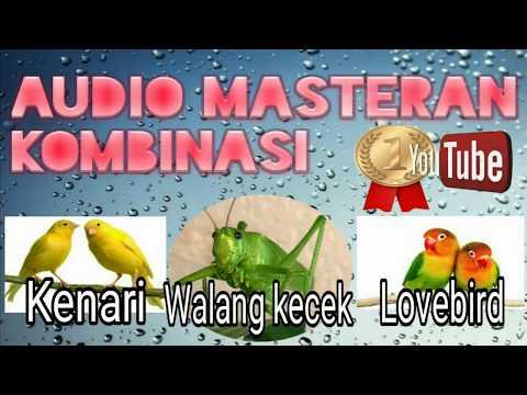 Download Lagu AUDIO MASTERAN KOMBINASI - WALANG KECEK - KENARI-LOVEBIRD