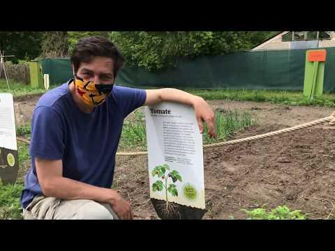 Pflanzung der Tomaten