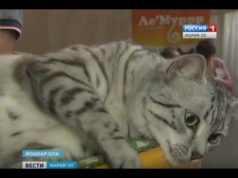 Бенгальские котята, египетские мау йошкаролинцам представили кошек редких пород Вести Марий Эл