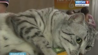 Бенгальские котята, египетские мау - йошкаролинцам представили кошек редких пород - Вести Марий Эл