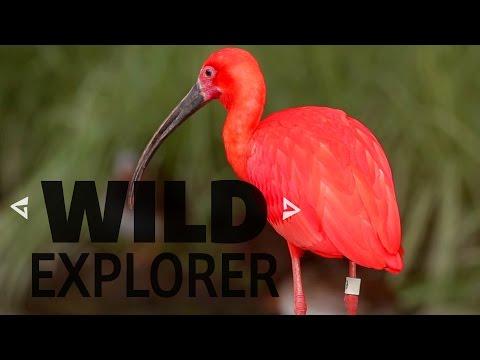 Wild Explorer - Scarlet Ibis' in Trinidad