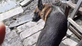Блохи нападают на собаку. Кто соскучился по Акбару?!
