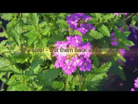 Tampa Verbain Native Verbena Florida Friendly Plant Gardening