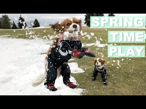Dogs Playing and Jumping | Early Spring 2018 | Cavalier King Charles