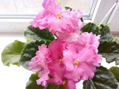 Вопрос: Как выглядит фиалка АВ – В розовом цвете, фото и описание?