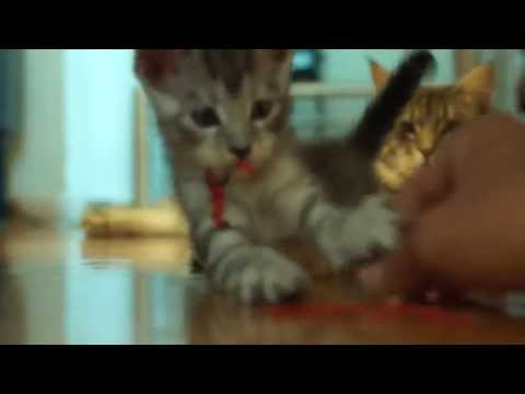 Maine Coon kittens from birth to 8 weeks old