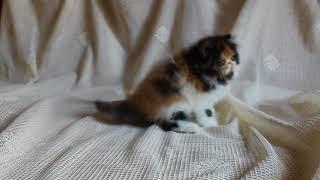 Маленький персидский котенок