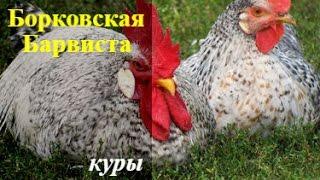 Борковская Барвиста .Яичная порода кур.