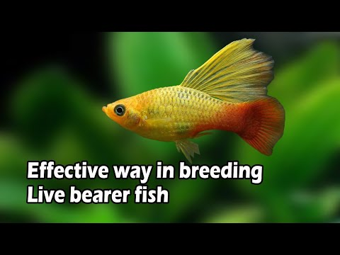HOW TO BREED PLATY FISH | Effective Way To Multiply Your Platies And Other Live Bearer Fish