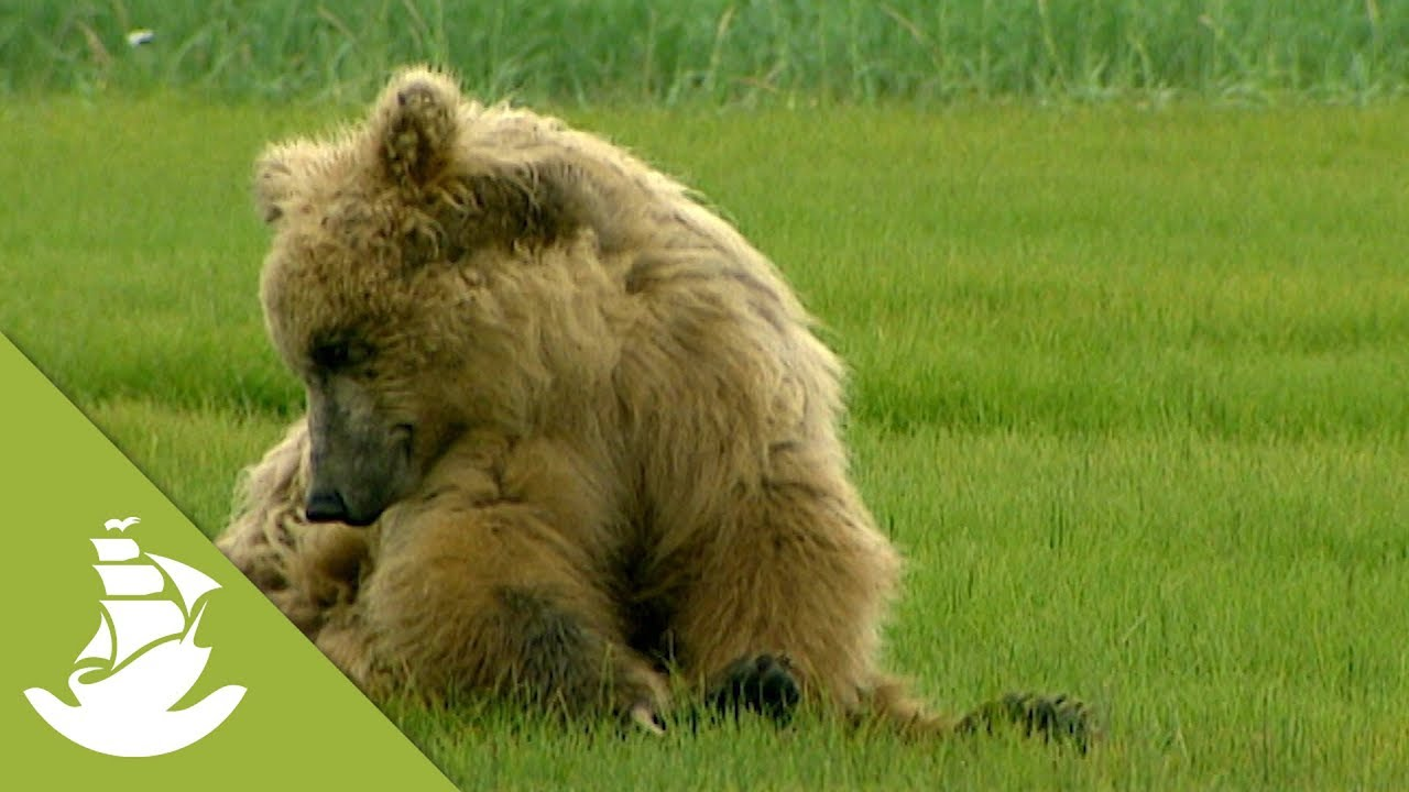 the grizzly bear awakes from its winter sleep youtube. Black Bedroom Furniture Sets. Home Design Ideas