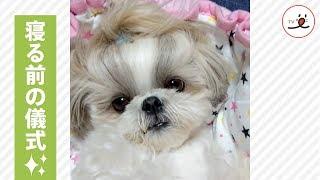 寝る前に…落ち着くペロペロをおねだり💕【PECO TV】 thumbnail