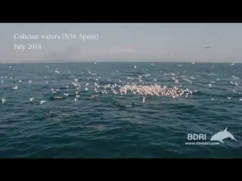 Delfines y aves, de caza en la costa gallega
