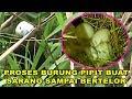 Momen Langka Proses Burung Pipit Buat Sarang Sampai Bertelor Burung Emprit  Mp3 - Mp4 Download