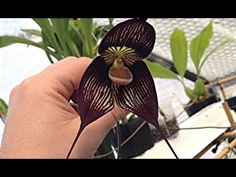 Orchid Update Dracula Vampira The Black With Two Flowers How To Culture Tips You