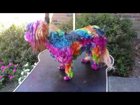 How to dye your dog with Koolaid, Manic Panic and