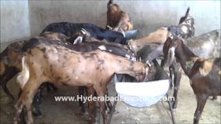 Goat Farming in Hyderabad Livestock and Farms, Hyderabad, Andhra Pradesh, India