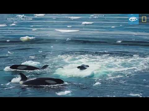 Wave Hunting: Orcas Prey on Seal | Antarctica | Lindblad Expeditions-National Geographic