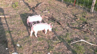 Pigs Have Arrived - Live feed