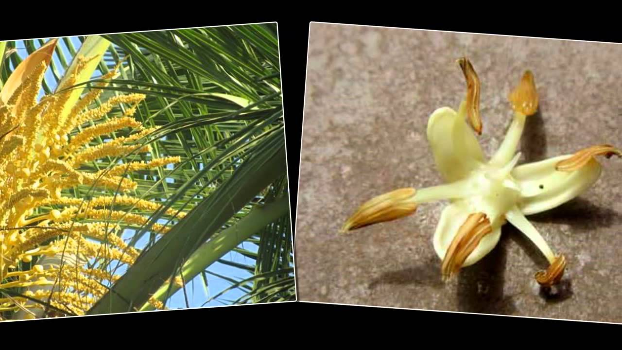 do you know coconut tree flower fruit and seed youtube