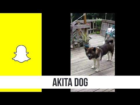 Akita Dog pt1