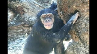 ここ最近、ゴリラ、オランウータンと、類人猿の動物の動画を貼ってきた...