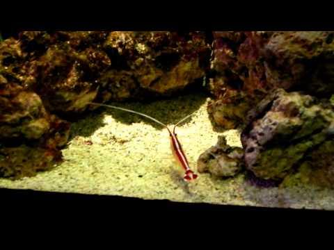 Boxer Shrimp (Креветка-боксёр)