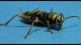 『ハチそっくりなカミキリムシ』トラフカミキリ Xylotrechus chinensis [The long-horned beetle which performs mimesis on wasp]