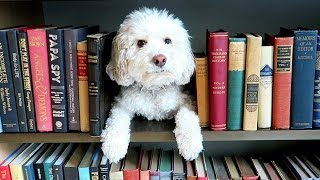 Cockapoo Dog Hides in Giant Book Case!