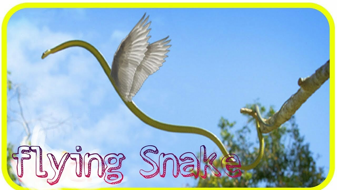 Flying Snake L Chrysopelea Is Also Known By Its Common Name Flying Snake Smilefunmasti Youtube
