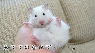 手の上でフリーズするゴールデンハムスター / hamster stop moving thumbnail