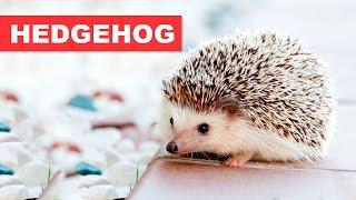 HEDGEHOG – GUIA DA ESPÉCIE