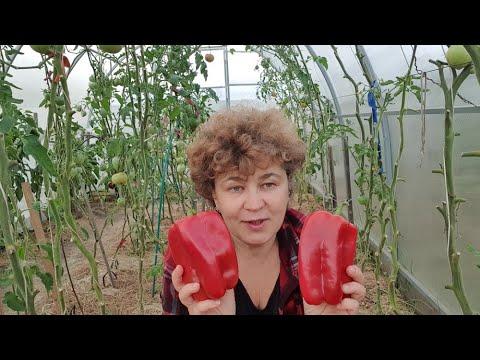 Крупноплодный перец в теплице 29 сентября 2020г