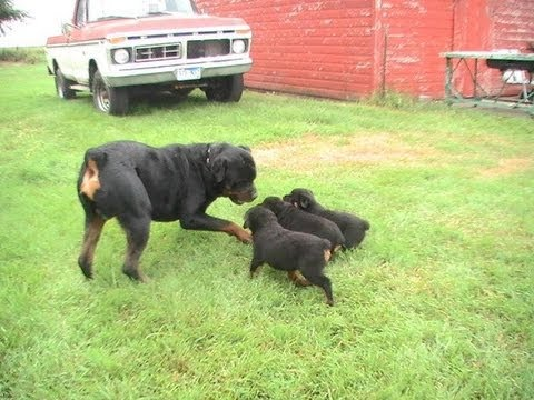 Rottweilers Start Basic training