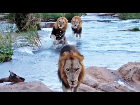 3 Huge Male Lions Cross River (1 Slips) - Latest Wildlife Sightings
