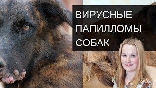 Вирусные папиломы собак  [#YouTube_ветеринарные_курсы)