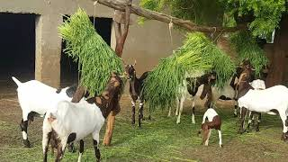 Pateri goats  of High quality ,complete documentary interview  in urdu