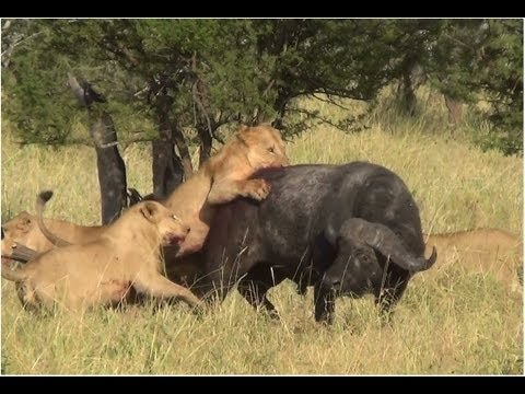 Battle at Serengeti (buffalo, lions & elephants)