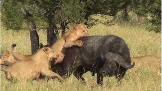 Battle at Serengeti (buffalo, lions & elephants)